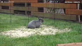 O coelho mais serelepe de todos!