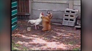 Hen vs dog fight