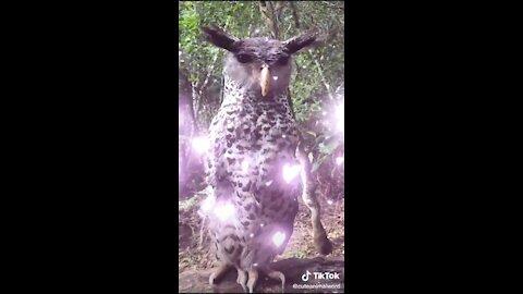 Owl vid