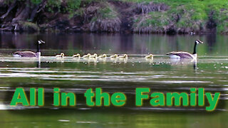 Young Goose Family crosses a beautiful Canadian river