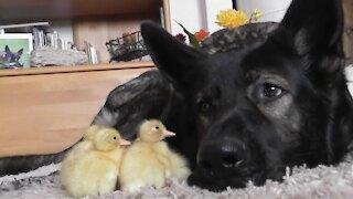 Day old ducklings imprint on gentle German Shepherd