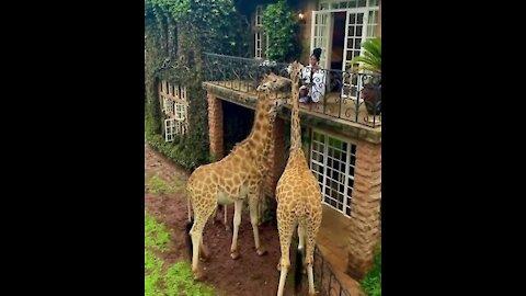 The world famous Giraffe Manor in Nairobi.