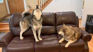 Trois huskies, terrorisés par une peluche
