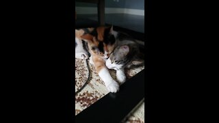 Cute cuddles: Pair of kitty cats show each other some love
