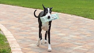 Hard-working Great Dane helps deliver the newspaper