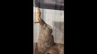 Leopard gecko climbs