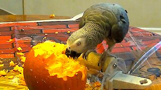 Parrot can't contain happiness after discovering pumpkin seeds
