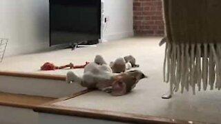 Slumbering dog tumbles down stairs in his sleep