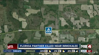 Florida panther killed by car near Immoklaee