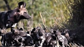 African wild dog puppies burst out of den to greet their mother