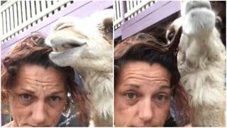 Denne kamelen elsker å spise på håret til eieren sin