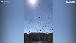 Tusenvis av fugler danser på himmelen over Georgia i USA