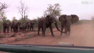 Des éléphants chargent des touristes