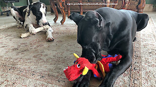 Great Danes Play Nicely and Share Their Toys