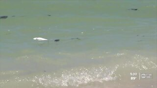 Red tide effects hitting bay area beaches