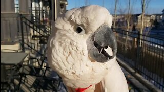 Talkative Cockatoo delivers hilarious imitation of a chicken
