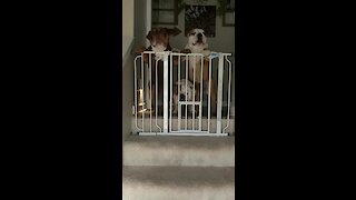 Trio of ecstatic bulldogs welcome owner home