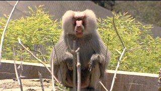 San Diego Zoo and Safari Park giving animals coronavirus vaccine
