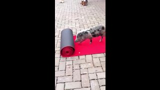 Pig at Cincinnati Zoo rolls out red carpet for early visitors