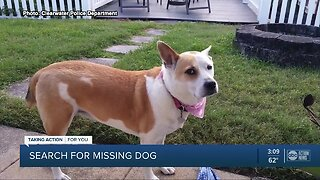 Clearwater PD searching for dog who ran away after car crash