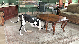 Funny Howling Great Dane Loves To Chase His Toys