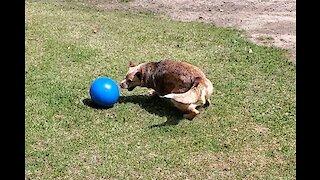 Speedy smart Cattle dog with a herding ball