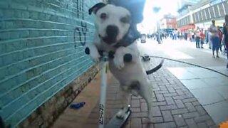Cão mostra habilidade para desportos sobre rodas