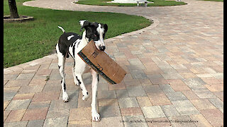 Happy Great Danes Love To Deliver And Open Amazon Boxes