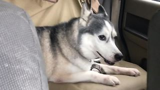 Energetic Husky Has A Case Of The Zoomies In A Car