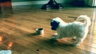 Cutest puppy ever delightfully plays with roll of tape