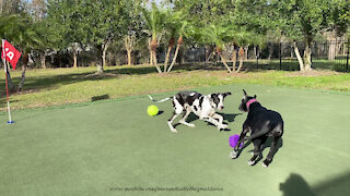 Play by Play Of Playful Great Danes' Fancy Footwork Moves