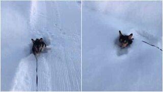 Pikkuruinen corgi kamppailee lumessa