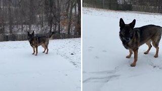 German Shepherd's first ever taste of snow (literally)