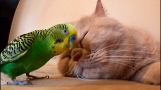 Sleeping cat adorably puts up with pestering parrot