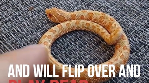 Learn About the Hognose Snake!