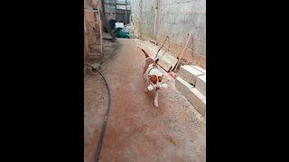 pitbull playing with bone