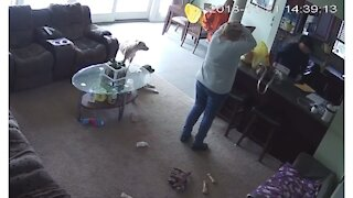 Crazy dog gets too excited, jumps across kitchen counter