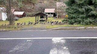 Wild Resident Turkeys