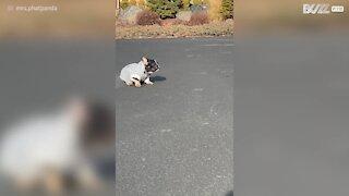 Un chien reçoit un nouveau pull et en bondit de joie