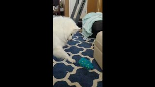 Confused dog has mind blown by squeaky toy