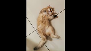Adorable Kitten - Playing with Toy Lion