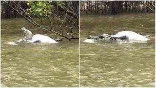 Cannibal crocodile attack in Australia