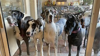 Five Great Danes line up to come inside for breakfast