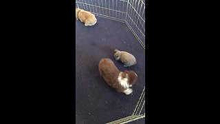 Puppy plays with his new bunny friends