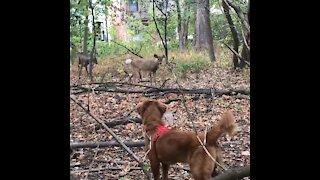 Golden Retriever meets deer while on a walk