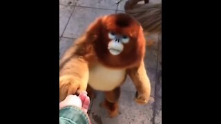 Monkey and friendship with female women
