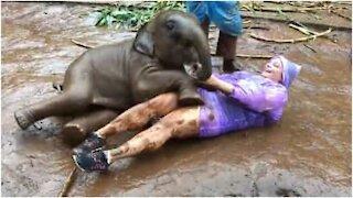 Cucciolo di elefante rotola nel fango con la turista