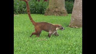 It's a raccoon... It's a monkey... No, it's a Coati