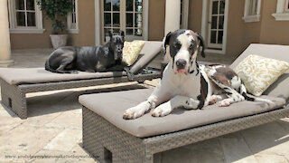 Happy Great Danes Chill Out On The Patio Loungers