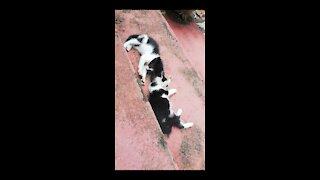 Cat wrestling match